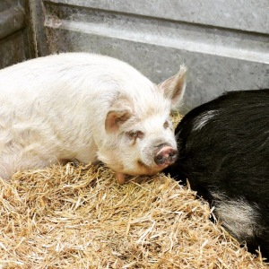 Bath-and-west-show-kune-kune-pigs