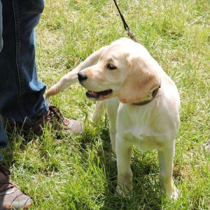 Bath-and-west-show-labrador