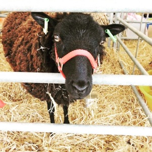 Bath-and-west-show-sheep
