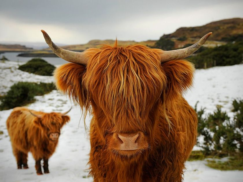 highland-cattle-scotland_35950_990x742